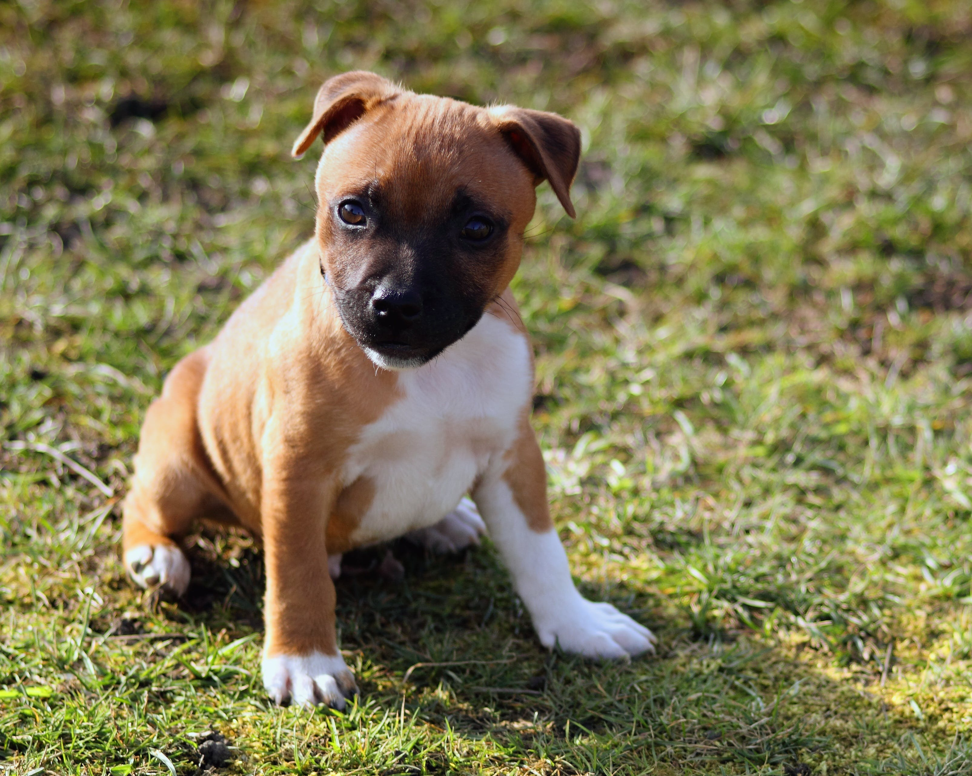 Selective Focus Photography of American Pit Bull Terrier Puppy Sitting on Grass Field