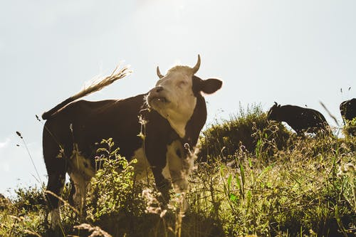 Ilmainen kuvapankkikuva tunnisteilla eläin, härkä, heinäpelto, karja