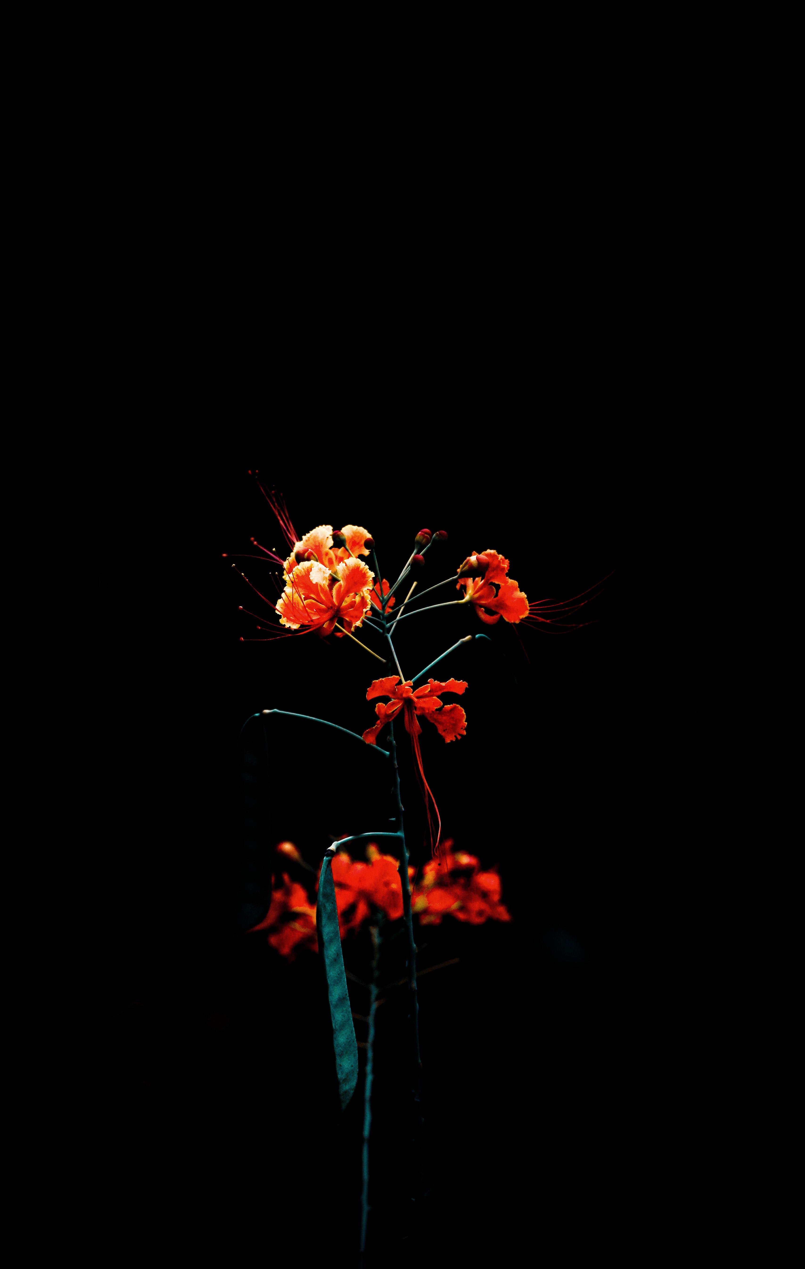 Free stock photo of beautiful, beautiful flowers, black, black background