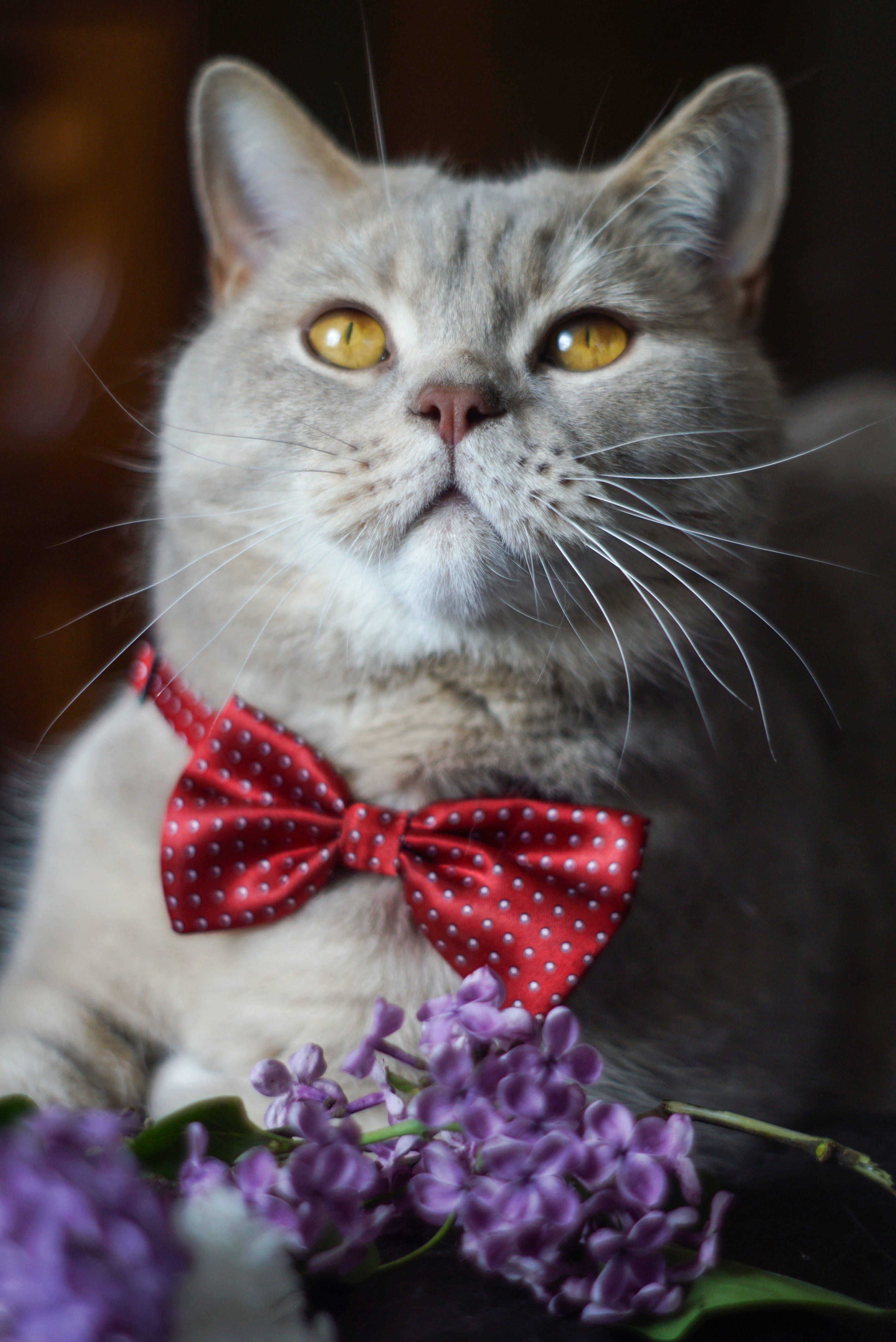 Kostenloses Stock Foto zu blauen blüten, bogen, britisch kurzhaar, elegant