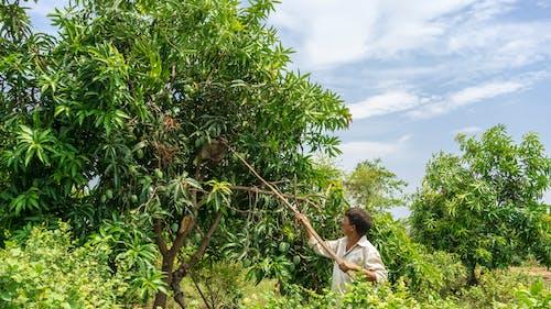 Free stock photo of farmer, indian, mangoes