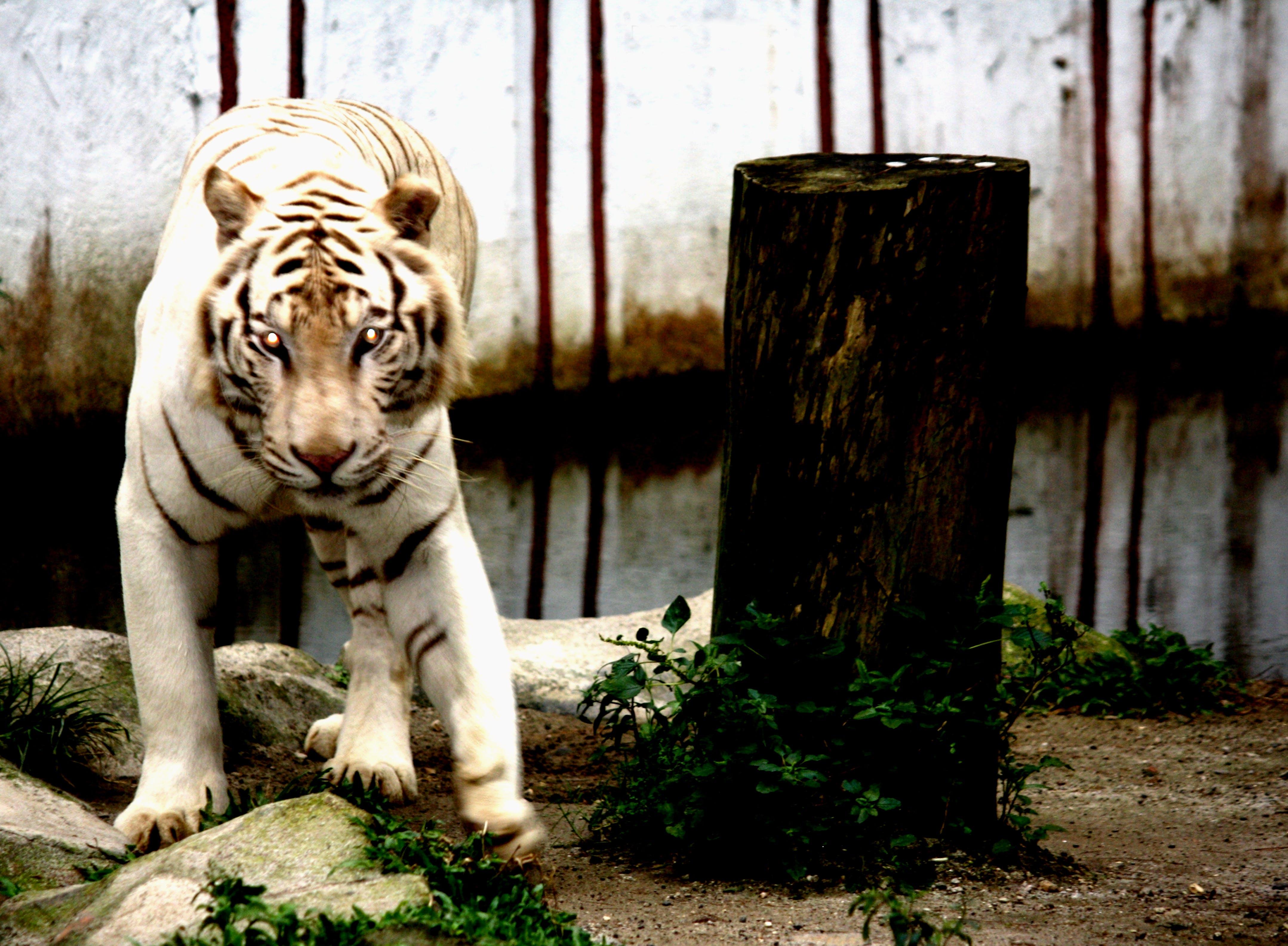 Free stock photo of animal, predator, tiger