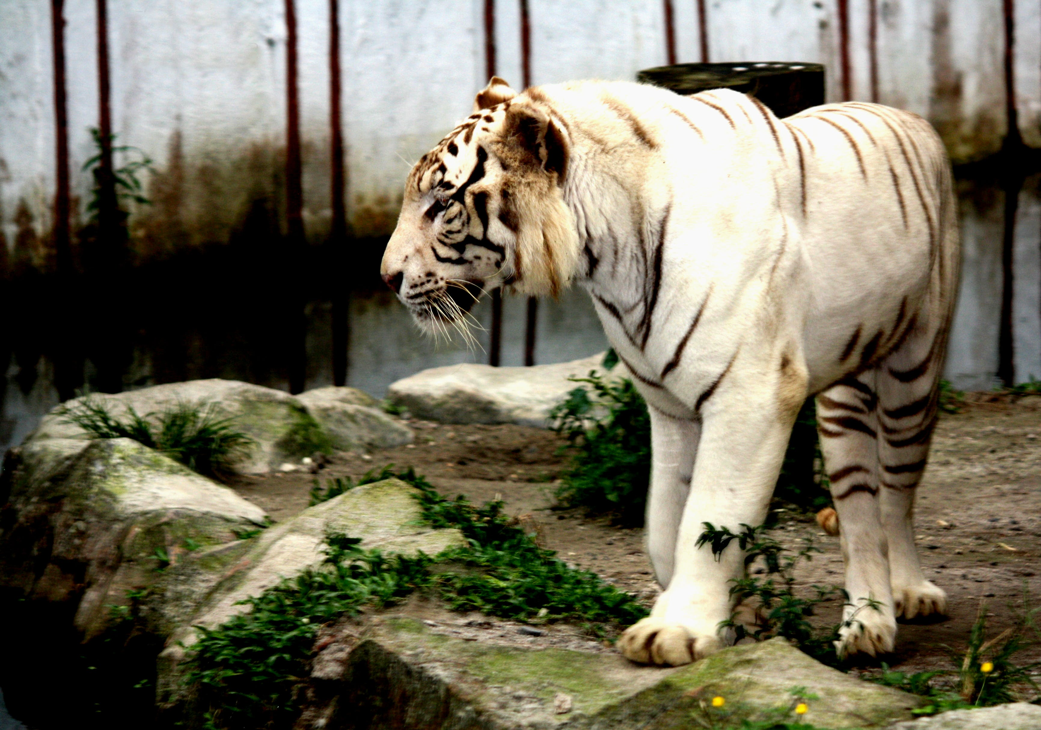 Free stock photo of animal, predator, tiger, white