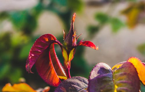 Selective Focus Photography of Maroon Leafed Plant