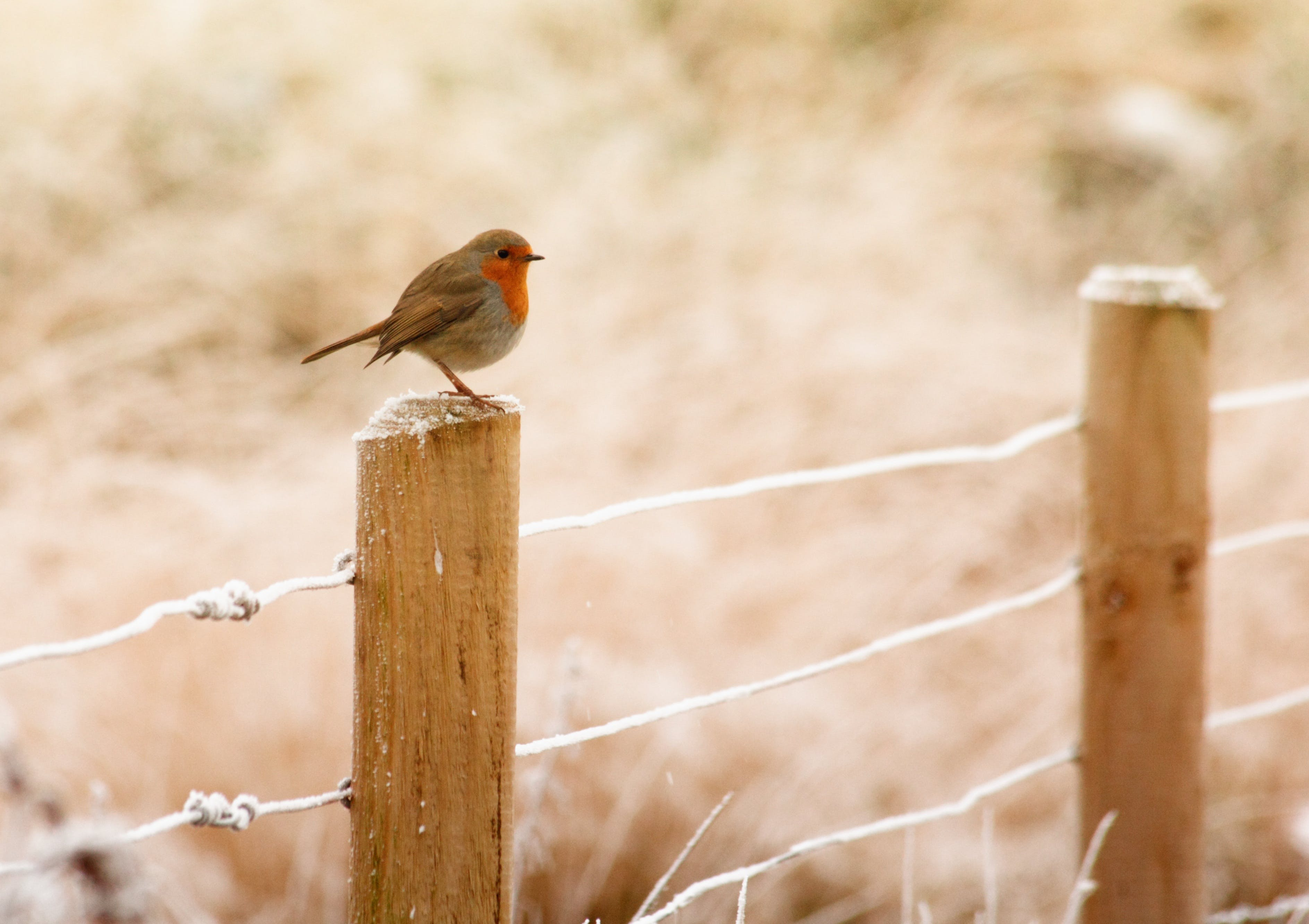 Selective Focus Photography of European Robin Bird Perching on Wood Fence