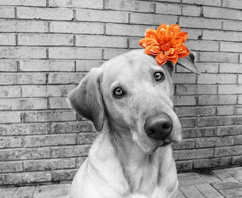 Ingyenes stockfotó hangsúly, kutya, sárga labor témában