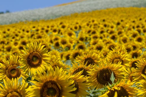 Photos gratuites de champ de tournesols