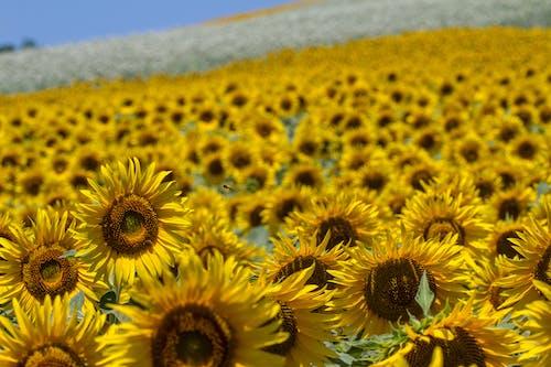 Imagine de stoc gratuită din floarea-soarelui