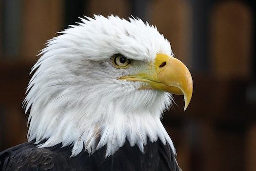 Free stock photo of bird, animal, white, bald eagle