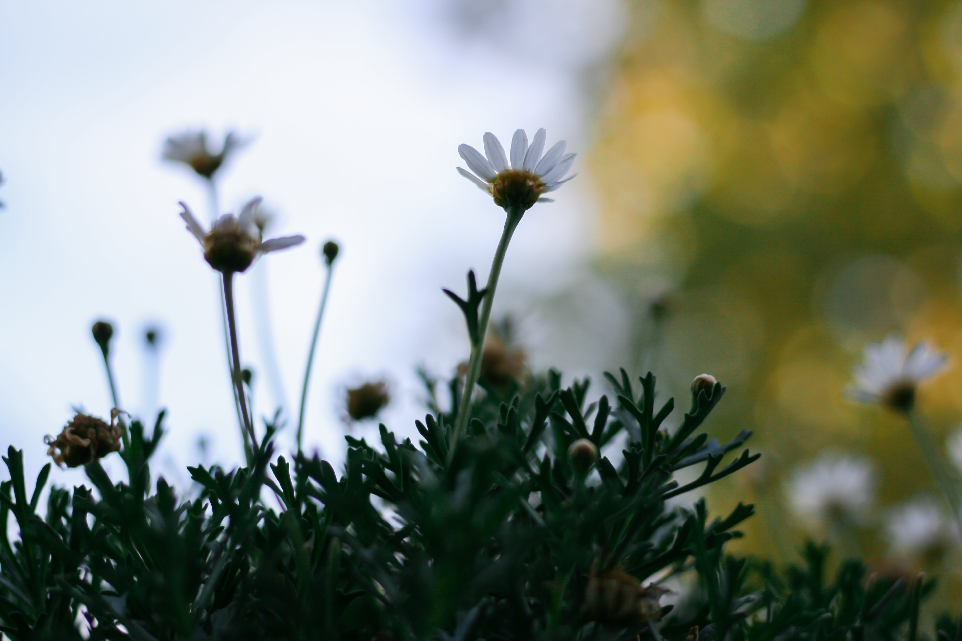 Free stock photo of bokeh, daisy, flower, garden flower