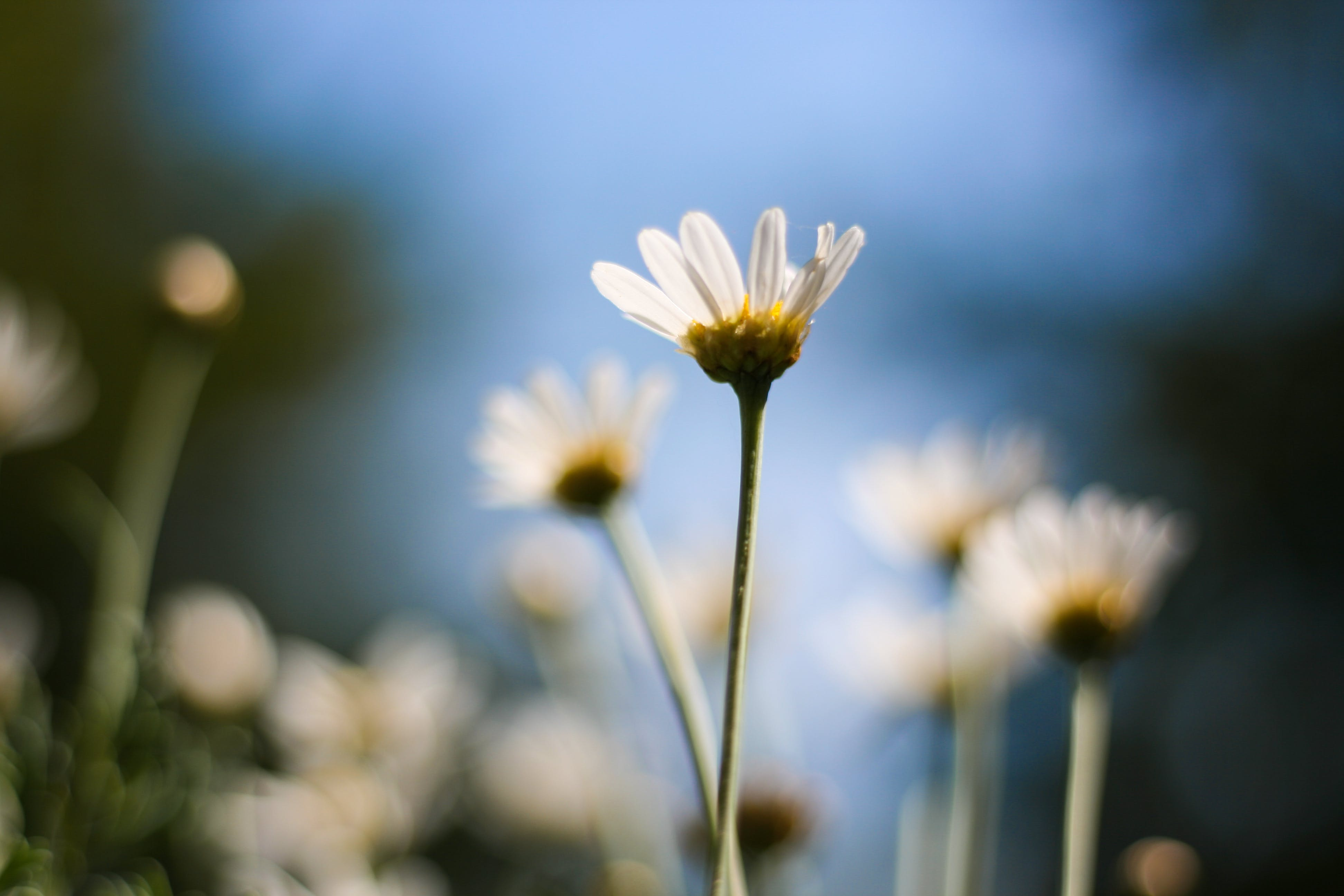 Free stock photo of beautiful flowers, blue sky, bokeh, daisy