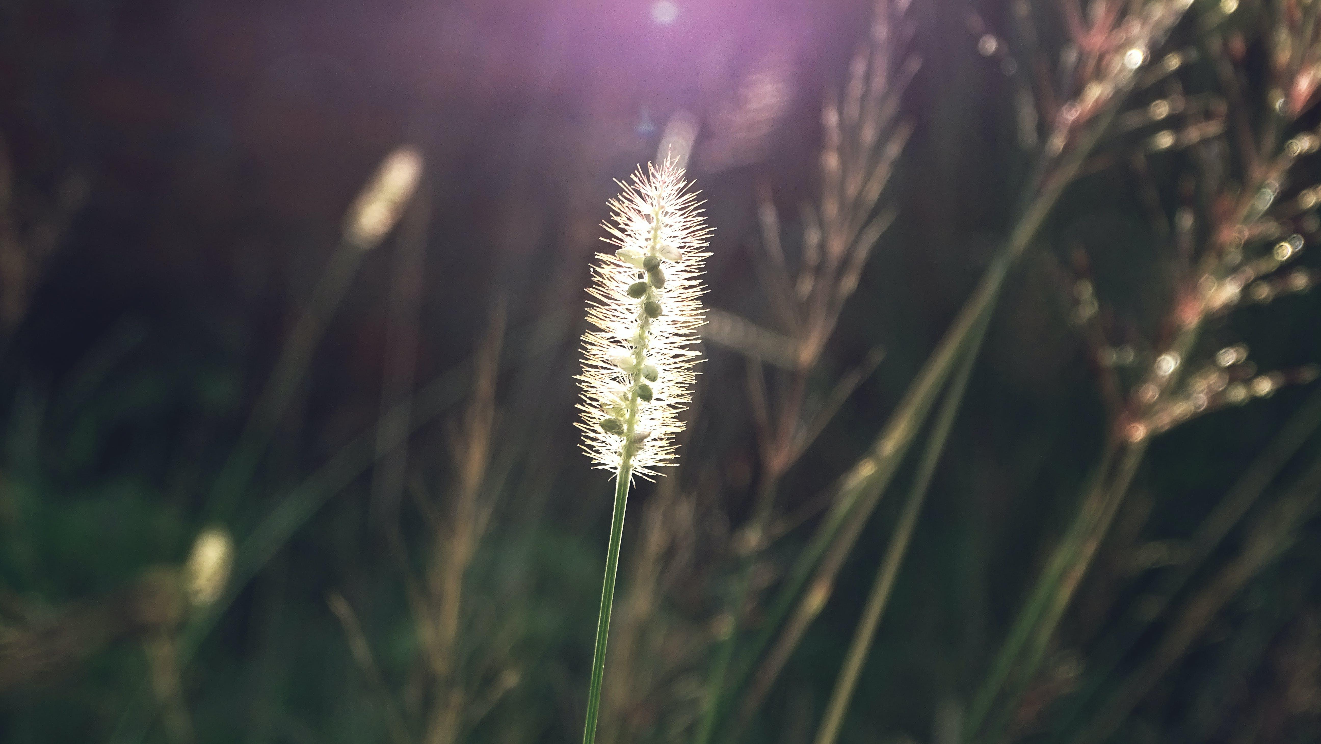 Free stock photo of bristle grass, close up, focus, grass