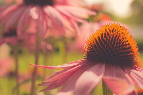 Closeup Photography of Pink Coneflower