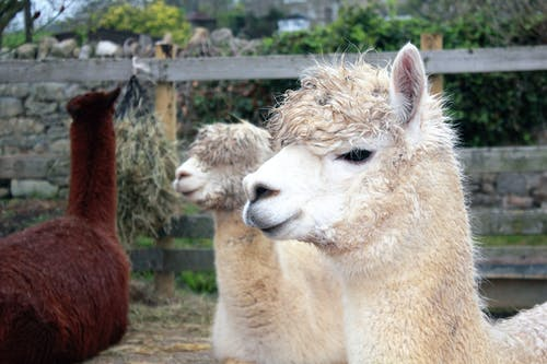 Close-up Photography of Two Beige Lamas