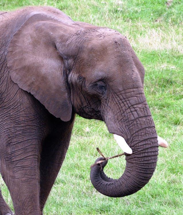Gray Elephant Walking on Grass Field
