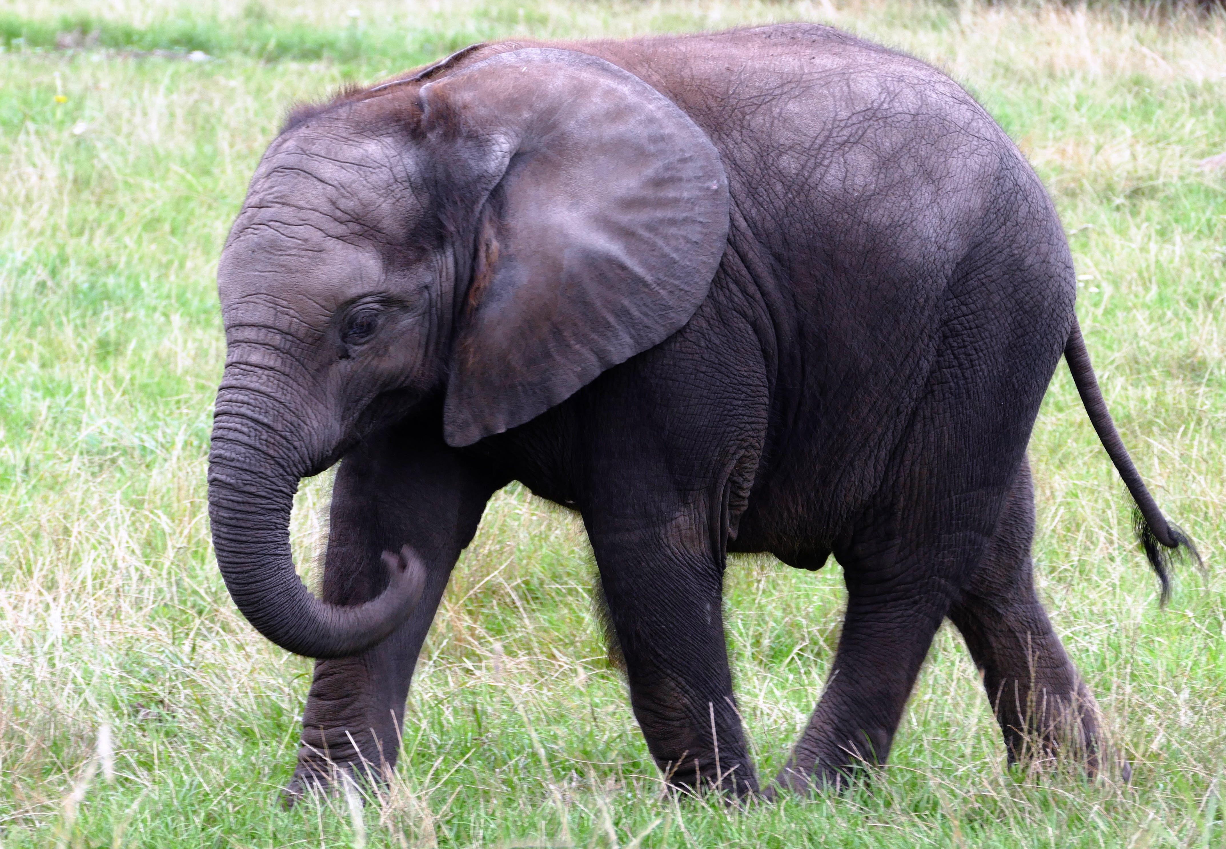 animal, big, elephant