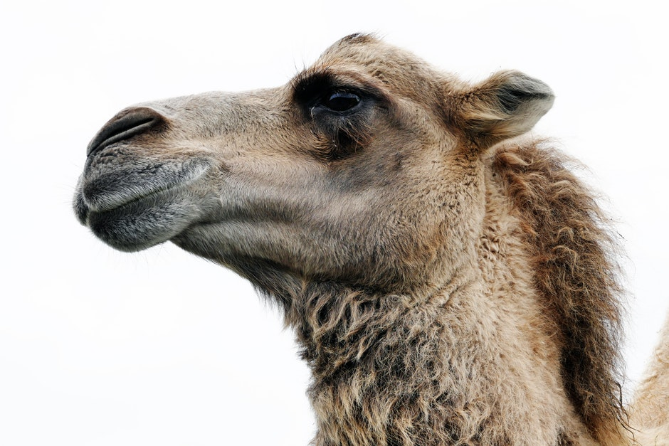 Close Up Photo of Camel