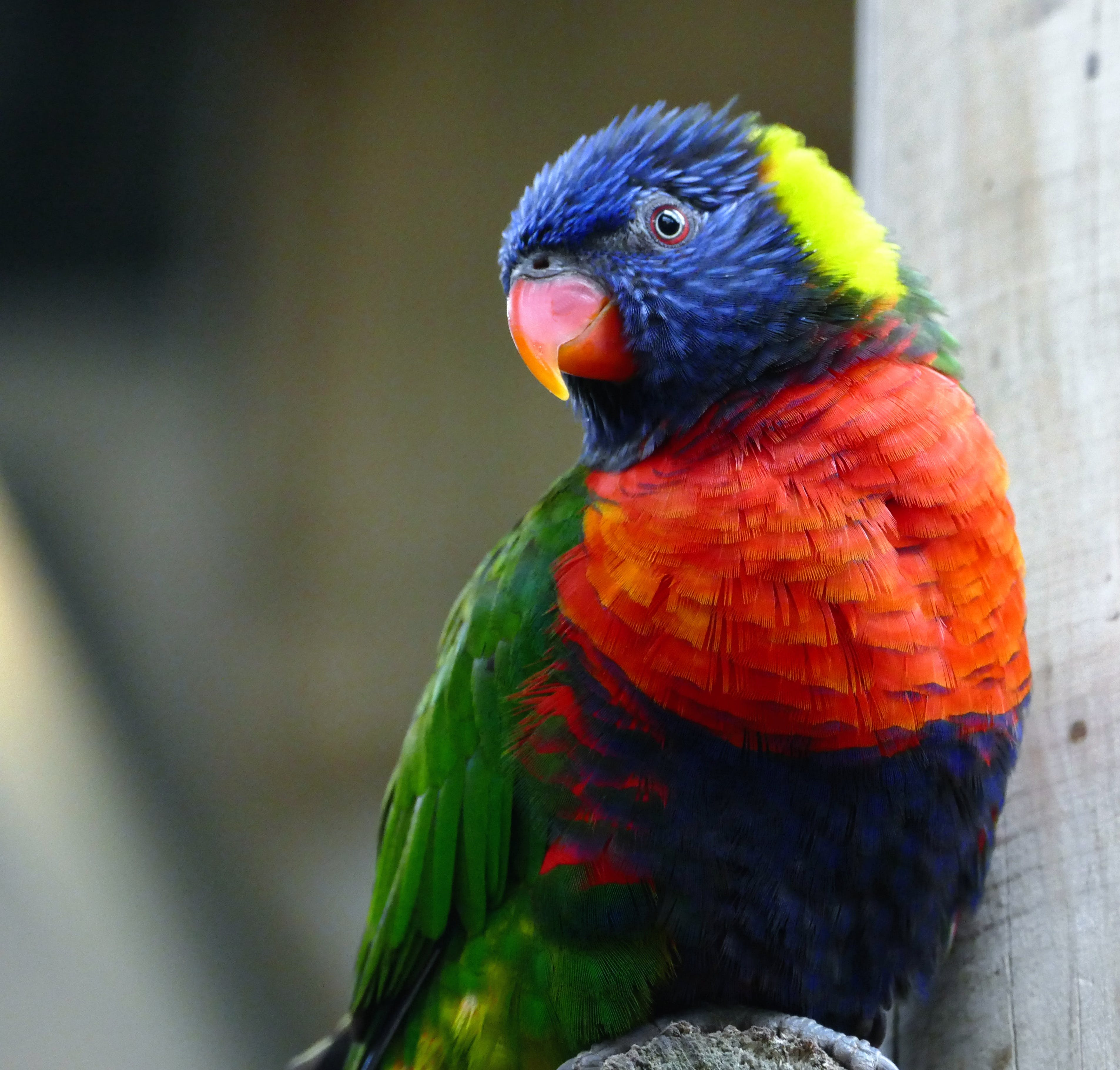 Rainbow Lorikeet Resting on Perch