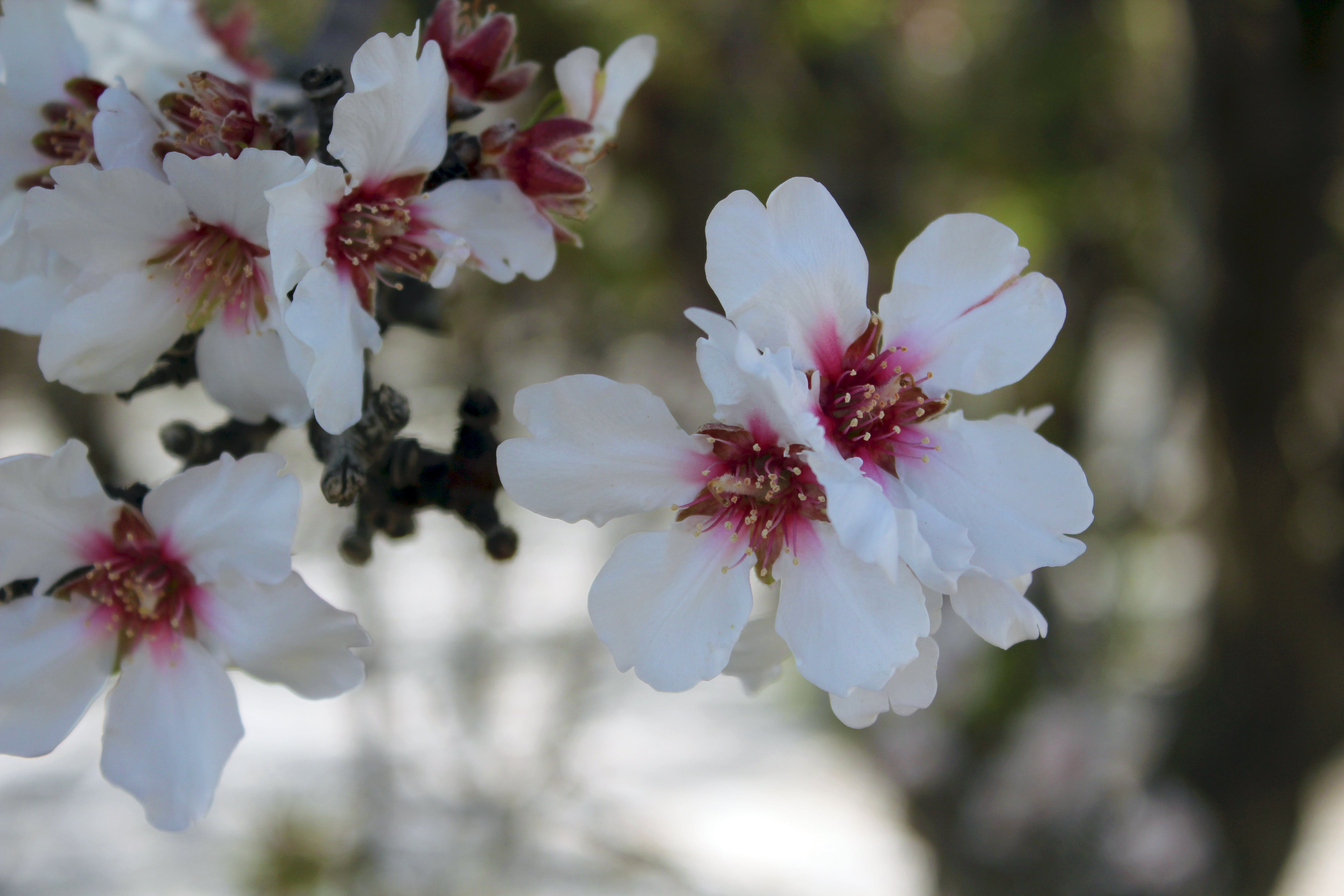 Free stock photo of flowers, cherry blossoms