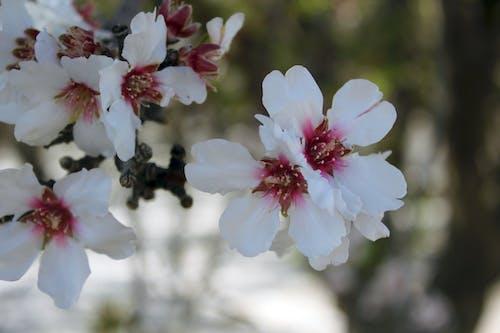 Δωρεάν στοκ φωτογραφιών με άνθη κερασιάς, λουλούδια