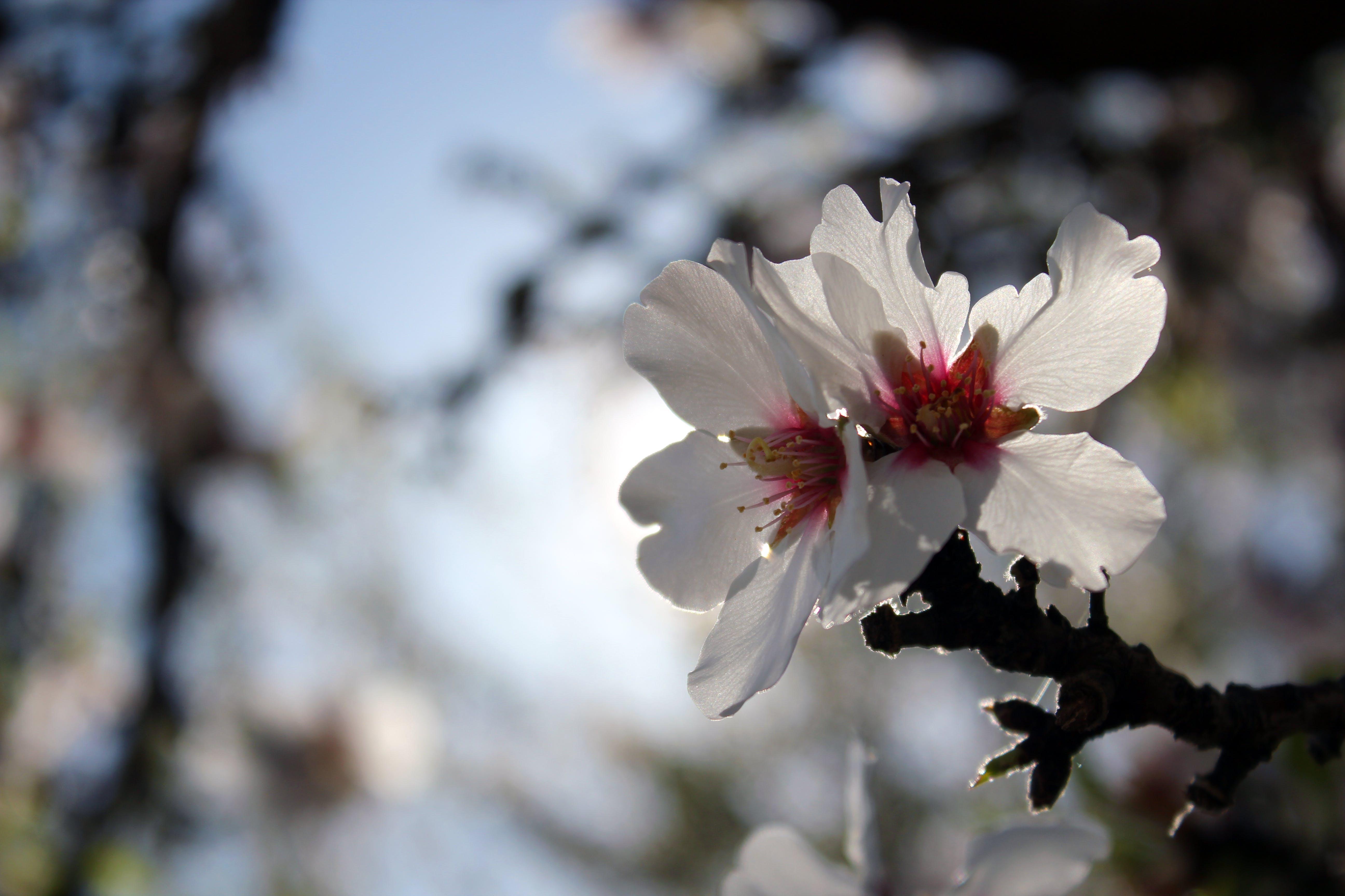 Free stock photo of flower, cherry blossom