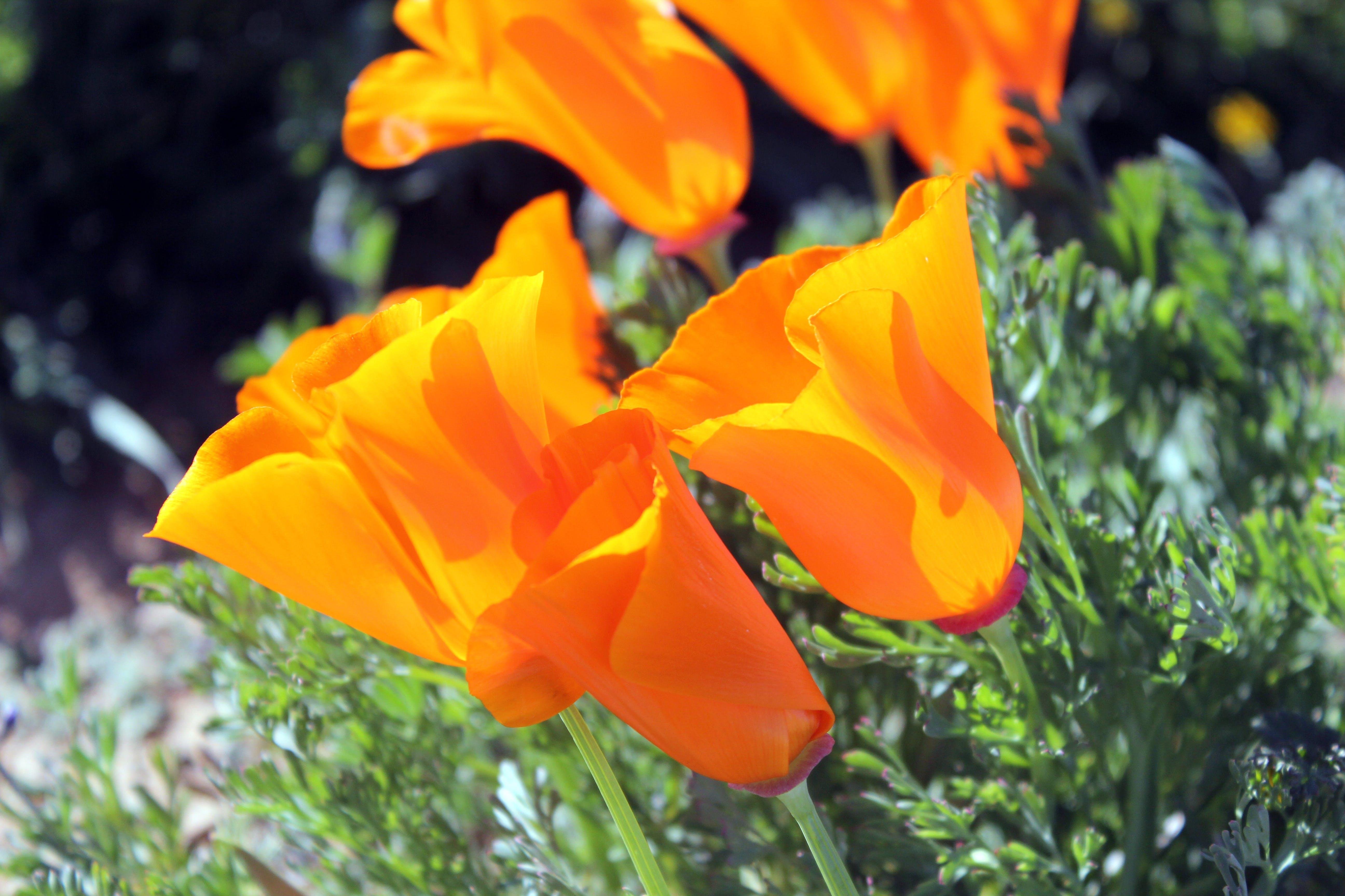 Free stock photo of poppies