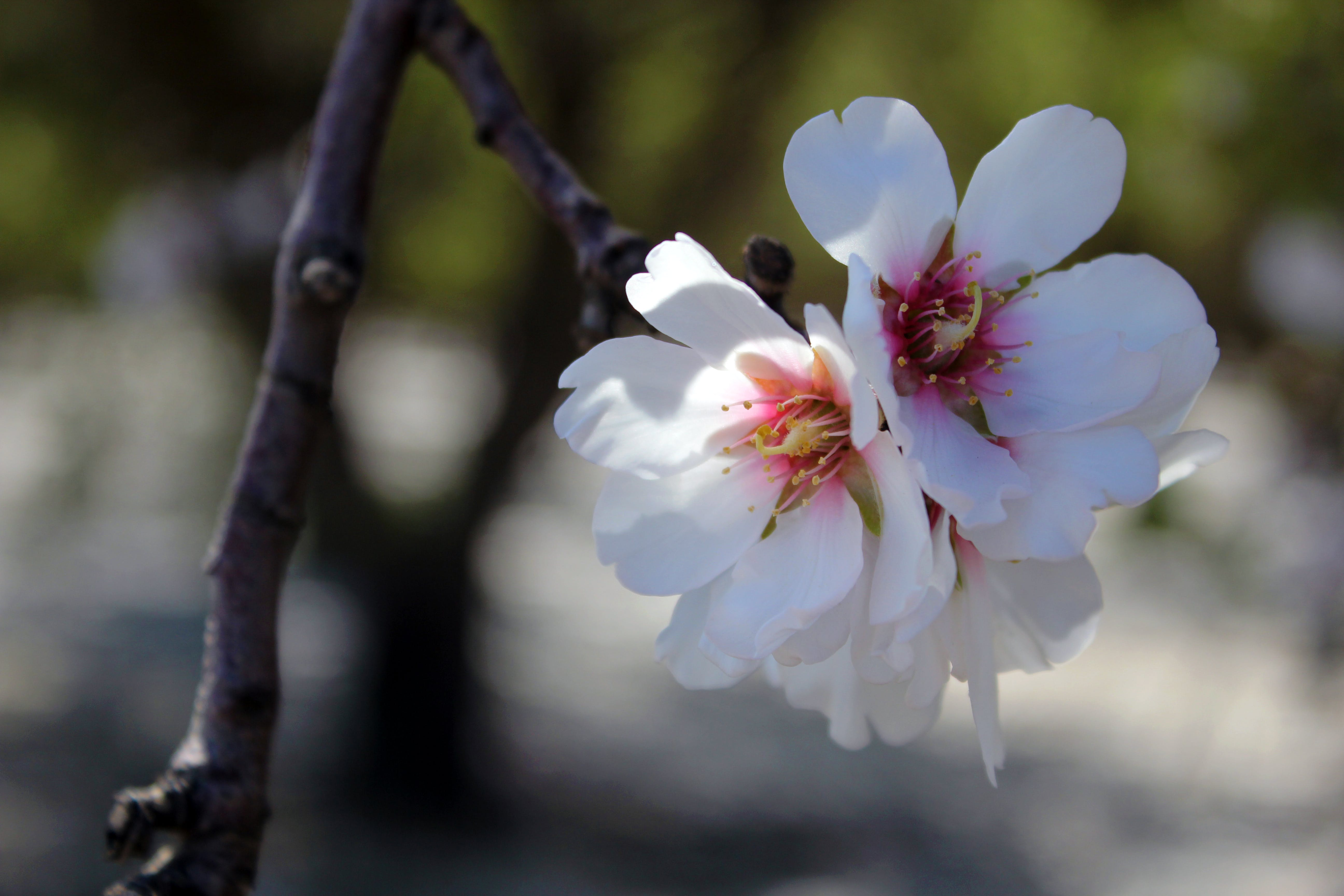 Free stock photo of flower, cherry blossom
