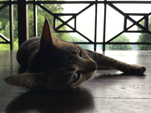 คลังภาพถ่ายฟรี ของ ขี้เกียจ, ตาแมว, หน้าแมว, อุ้งเท้า