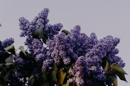 Δωρεάν στοκ φωτογραφιών με ανθισμένος, άνθος, λιλά, λουλούδια