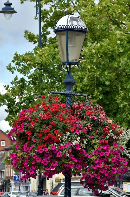Free stock photo of flowers, hanging basket, lamp
