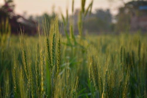 Foto profissional grátis de área, aumento, campo, campo de trigo