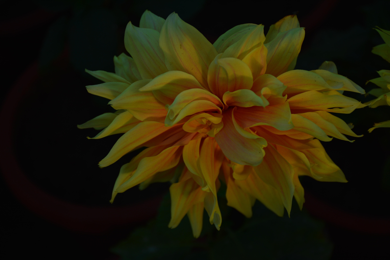 Free Stock Photo Of Golden Yellow Good Morning Morning Glory