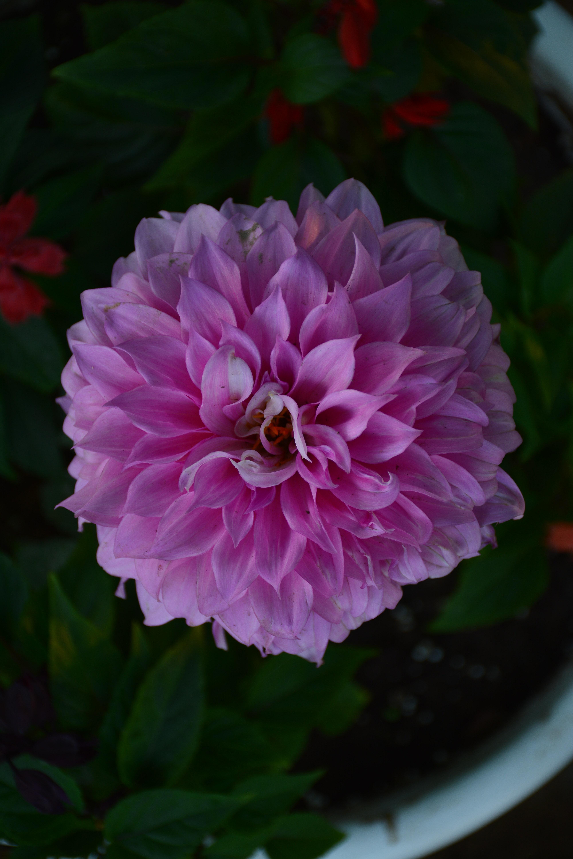 Free stock photo of flower, Good Morning, pink flower