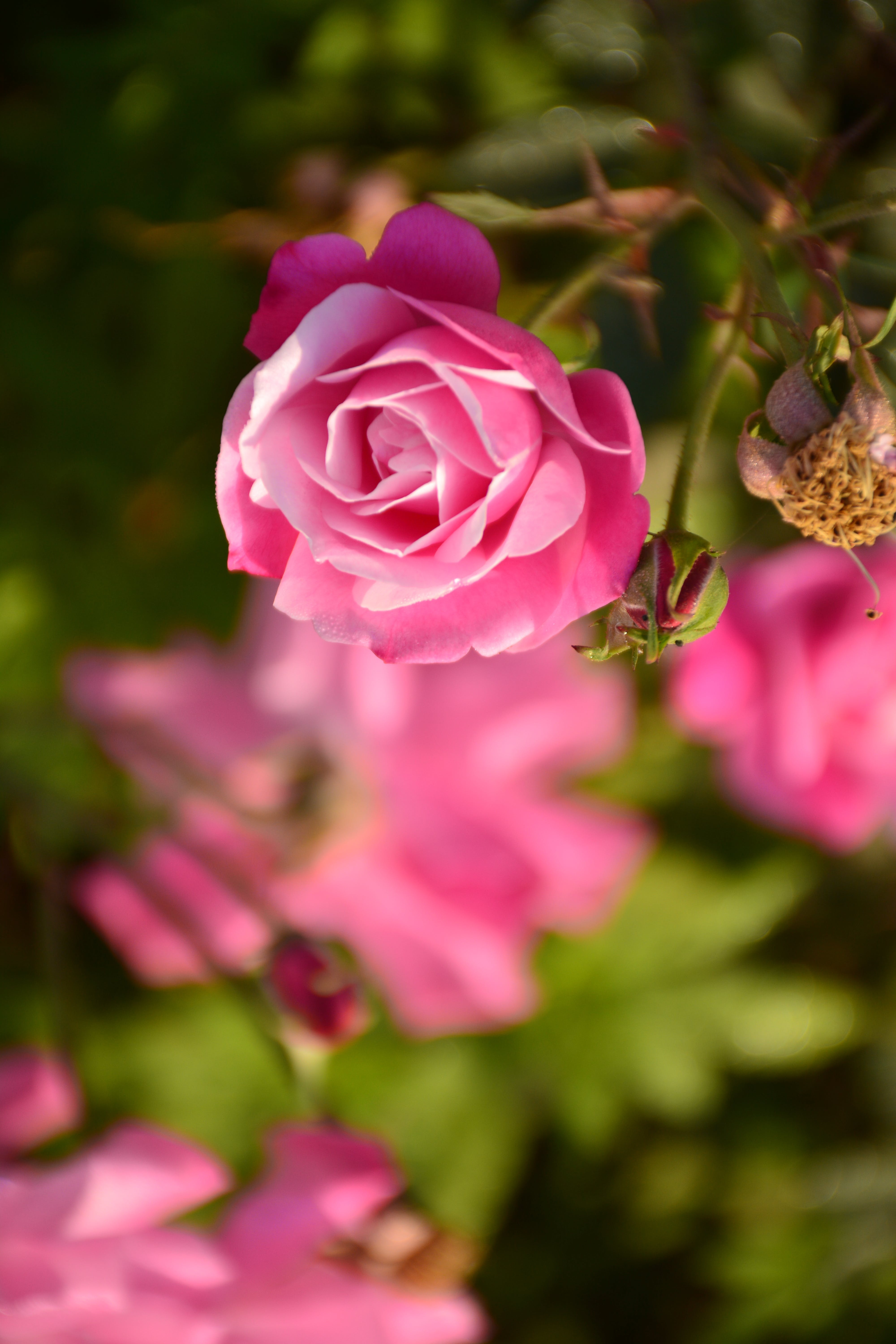 Free stock photo of beautiful flowers, beauty, Pink Rose, rose
