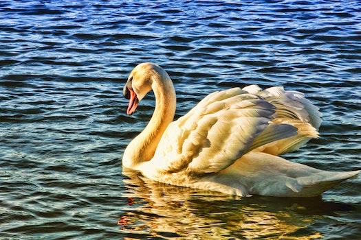 Free stock photo of nature, water, animal, white