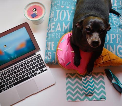 Free stock photo of black dog, dachshund, desk, desk set up