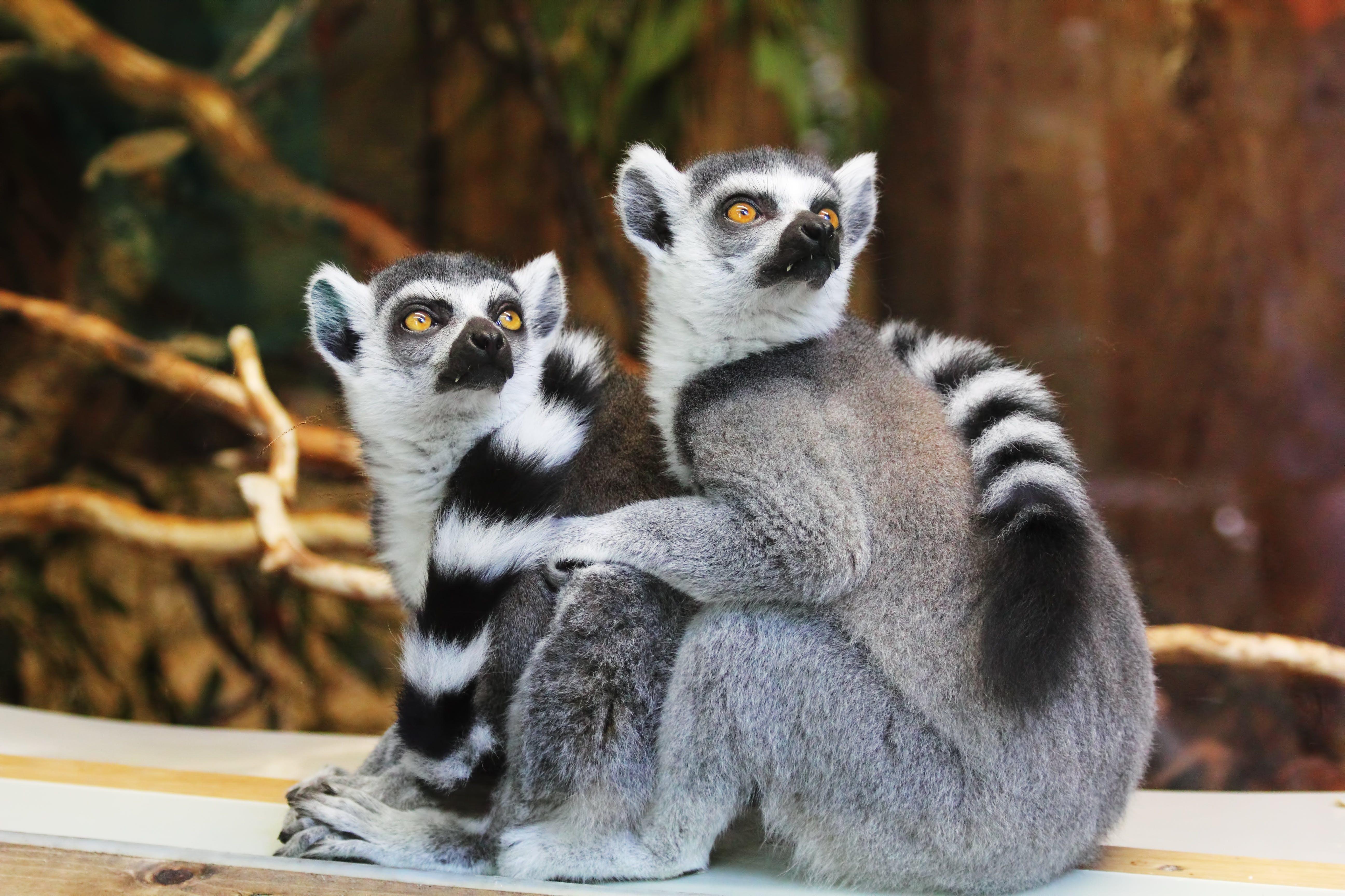draußen, lemur catta, lemuren