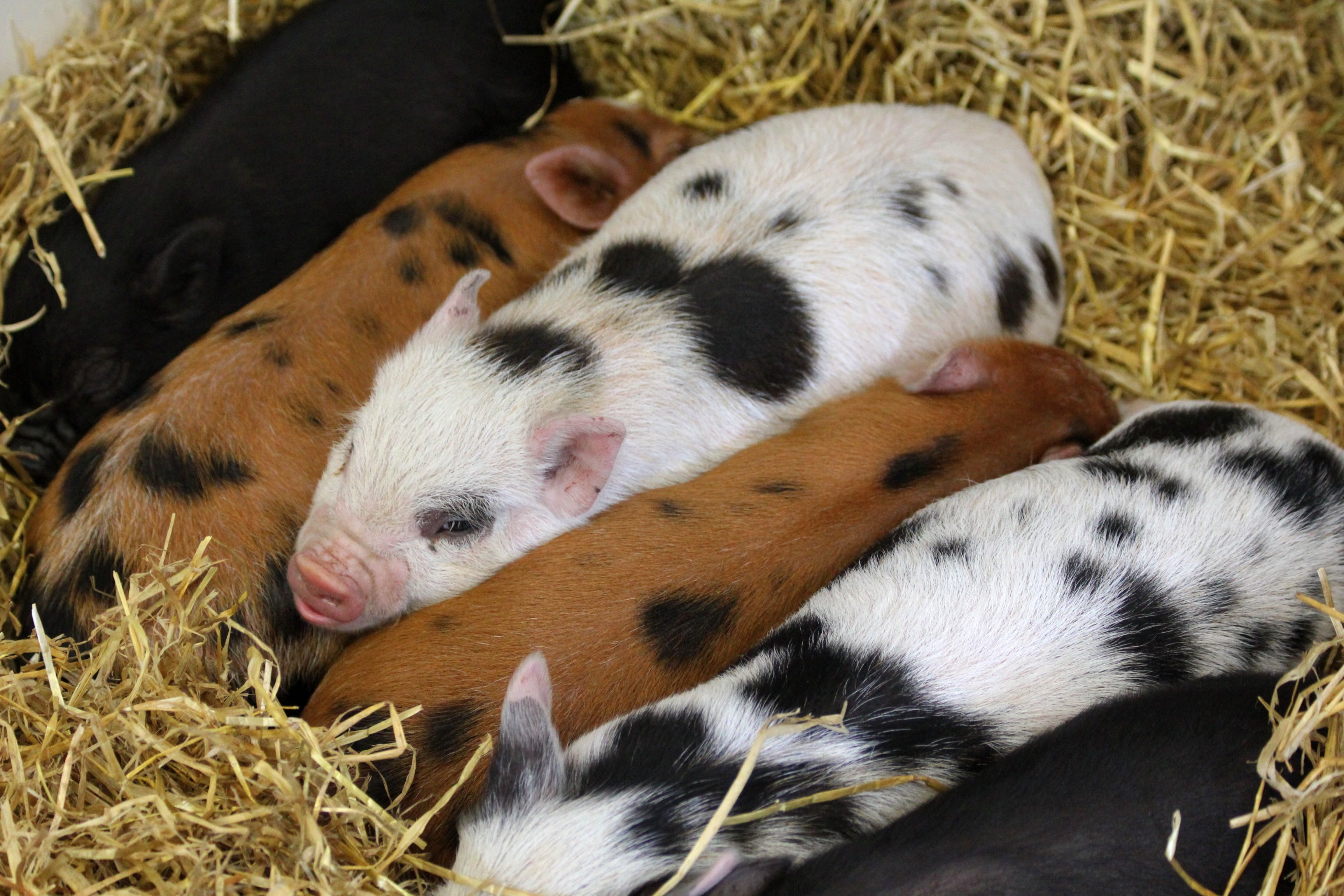 Group of Piglets