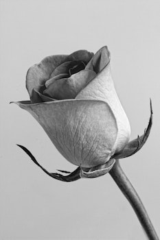 Free stock photo of black-and-white, petals, grey, flower