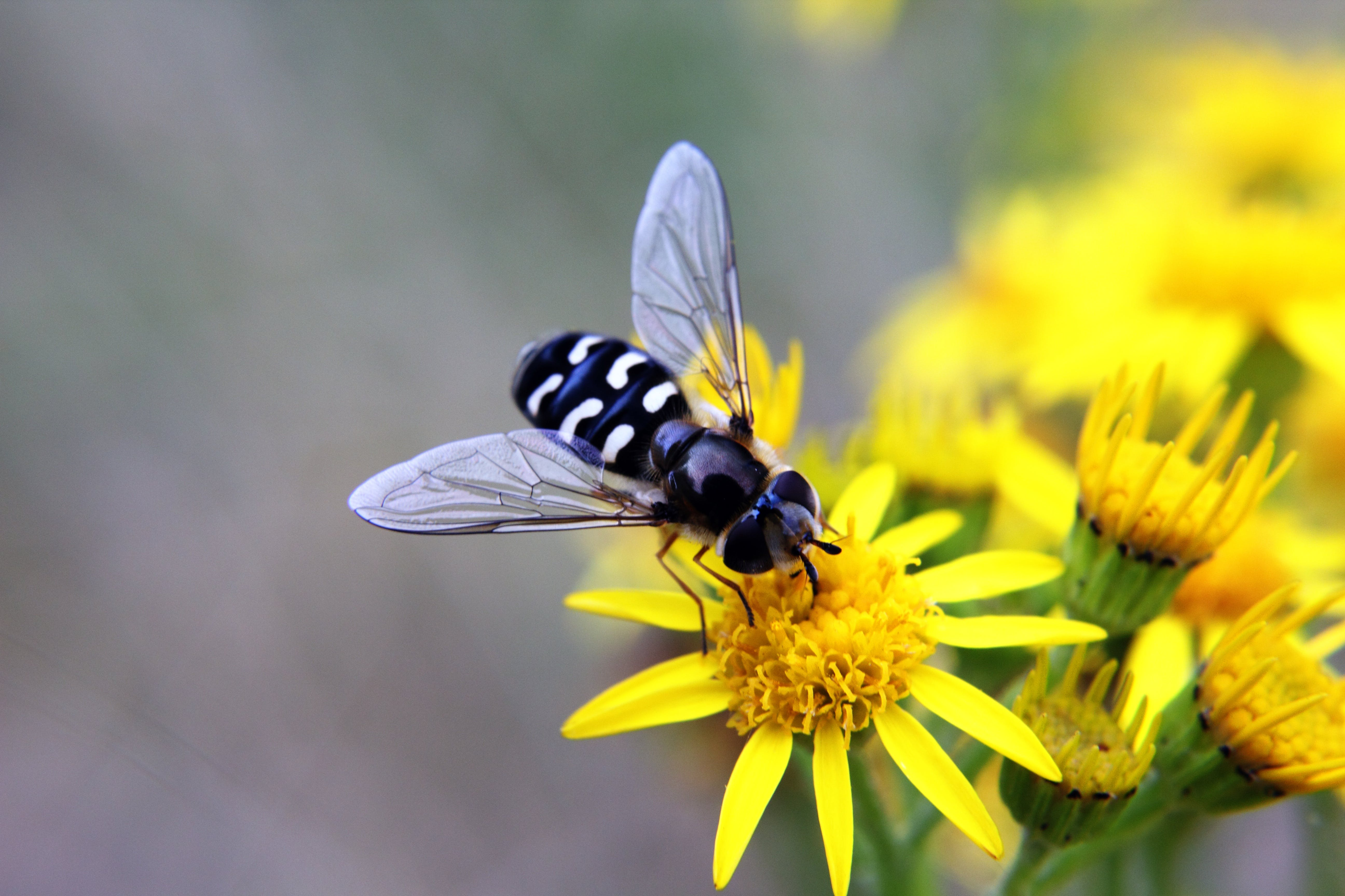 Black Fly on Yellow Flowers