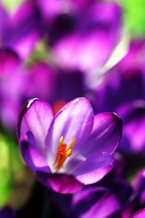 Free stock photo of bloom, blooming, crocus, flora