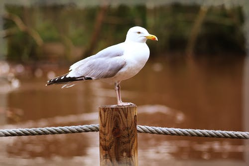 White Gull Resting on Wood Stand