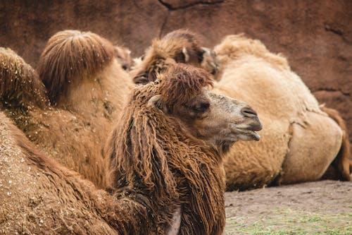 Foto d'estoc gratuïta de animals, camell, natura, seure