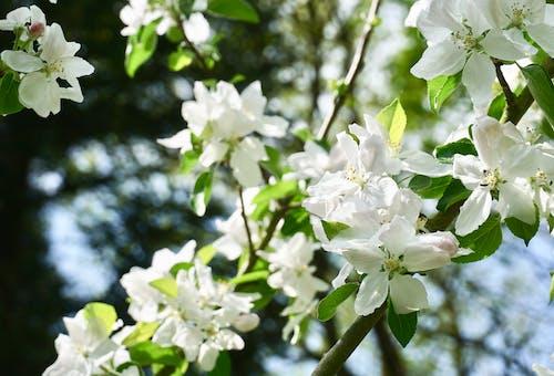 Kostnadsfri bild av äppelblom