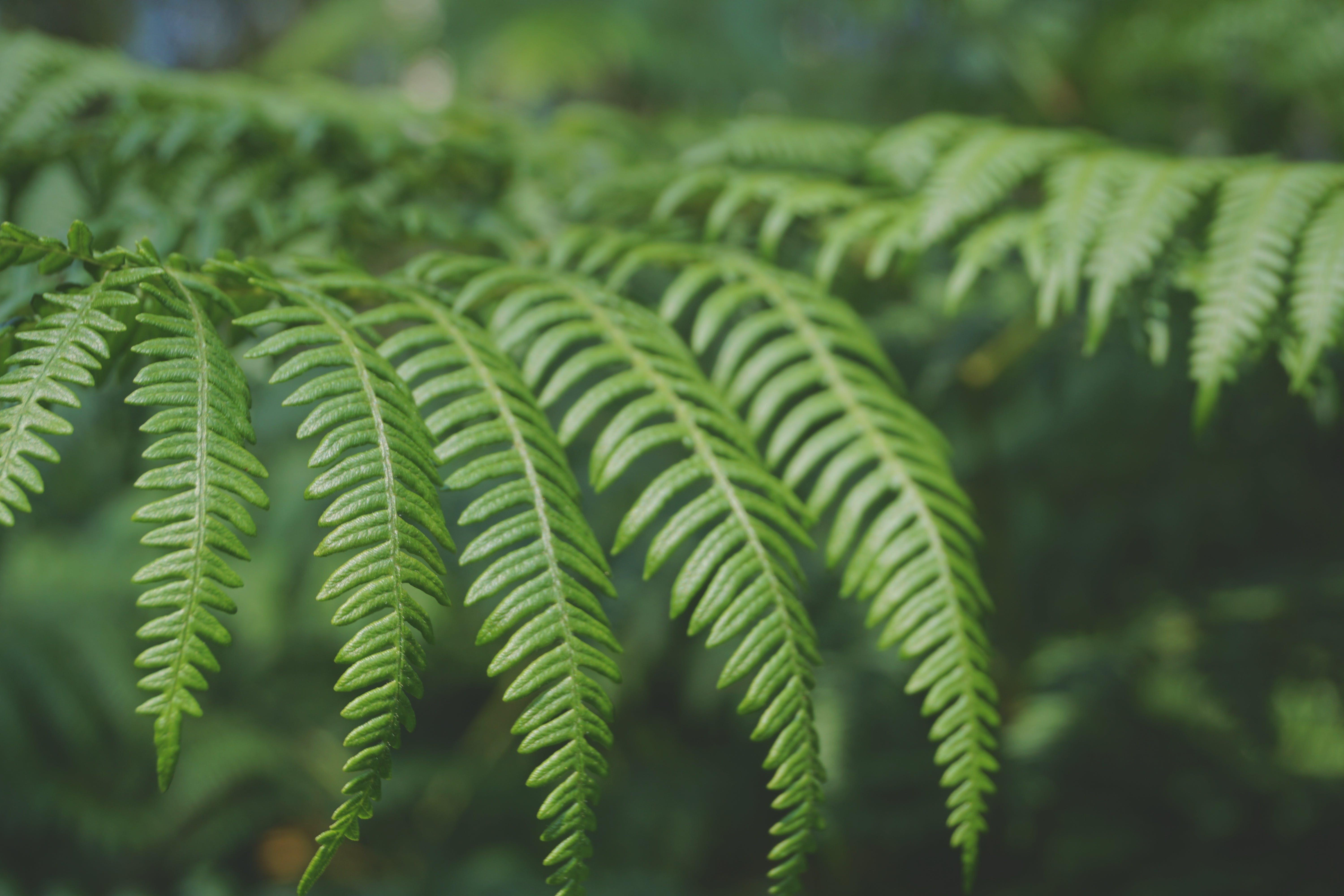 Free stock photo of fern, green