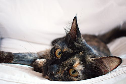 Tortoiseshell Cat Lying On White Textile