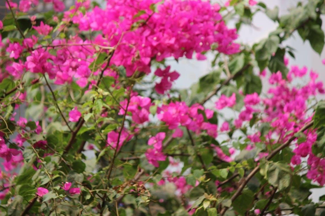 Foto stok gratis bugenvil, bunga-bunga indah, bunga-bunga merah muda