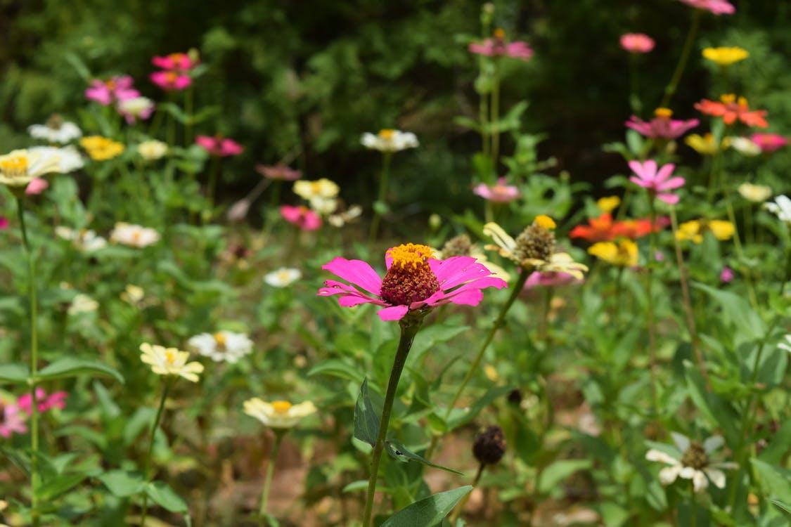 Ấn Độ, hoa, hoa dại