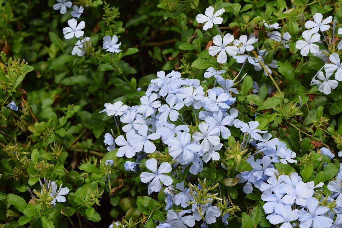 индия, полевой цветок, цветы