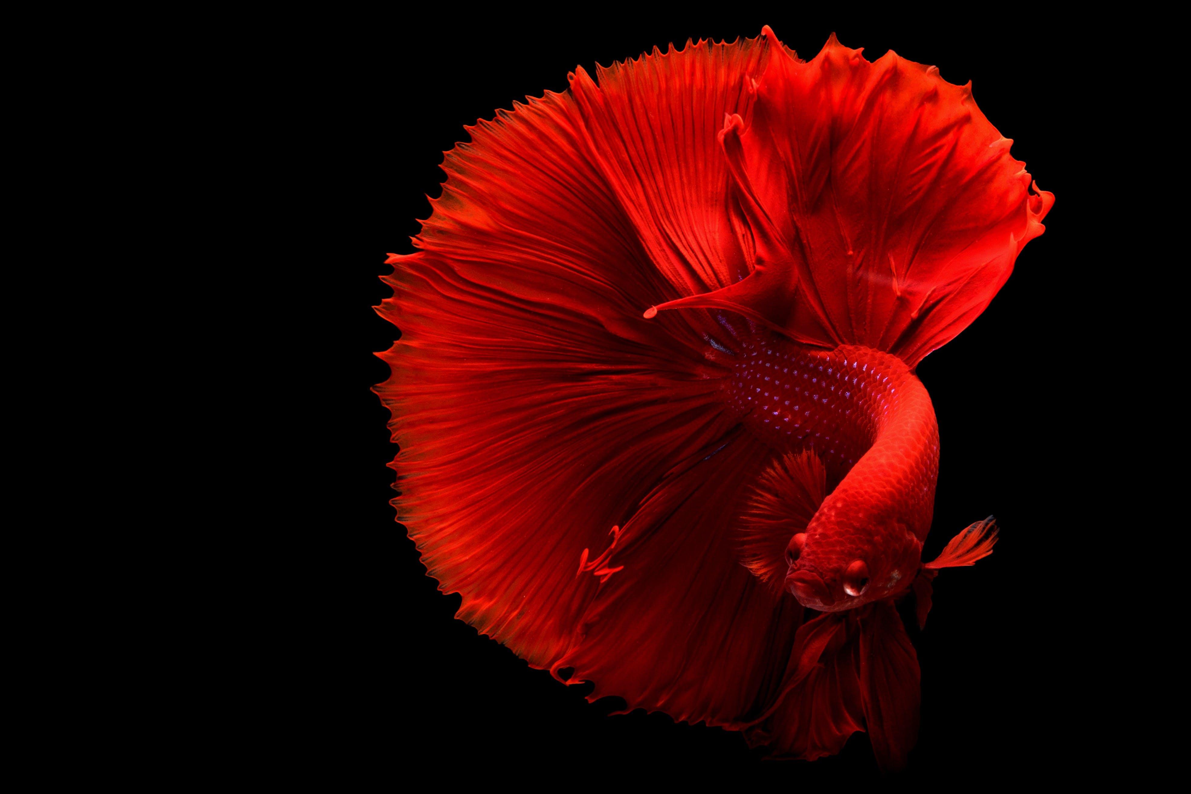 Red Betta Fish